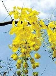 ราชพฤกษ์ ต้นไม้ประจำชาติ และความหมายอันเป็นมงคล