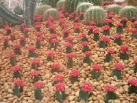 แคคตัส งานพืชสวนโลก